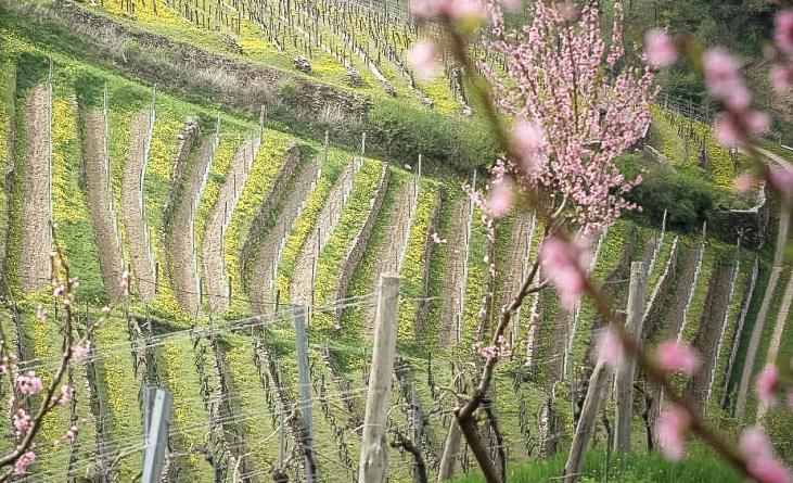 Blick auf die Reben vom Weingut Martin Muthenthaler