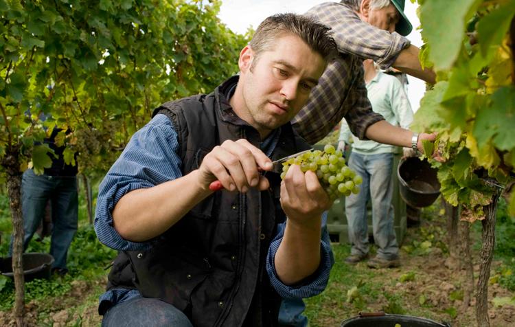 Philipp Kuhn bei der Lese-Weingut-Kuhn