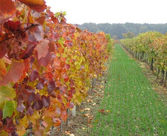 Weinberge Herbst Böheim Österreich