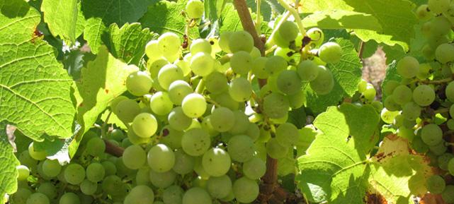 grapes Chateau de Gaure I http://www.chateaudegaure.com/